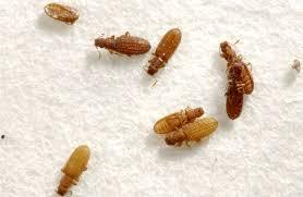 姬薪蟲-圖-1