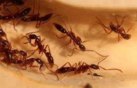 小黑家蟻 圖1