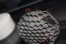 大褐胡蜂蜂巢