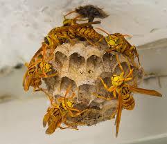 果馬蜂蜂巢
