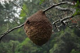 虎頭蜂蜂巢