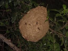 黑盾胡蜂蜂巢