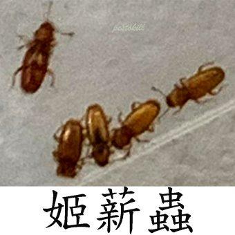 15姬薪蟲