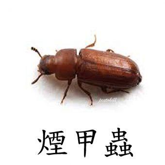 23煙甲蟲-1