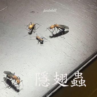 24隱翅蟲